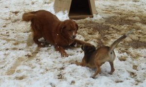 Squidney and Max playing in the snow at Pick of the Litter