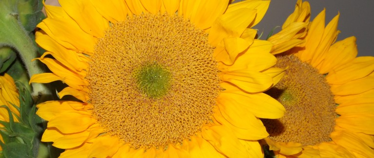 Sunflowers (11)