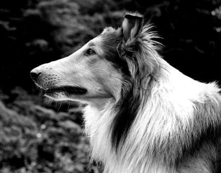 Pal (aka Lassie) by Dell Mulmey, Quinault, Washington